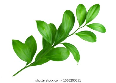 One branch with green leaves on white background isolated close up, fresh grass, herbal illustration, decorative plant, natural floral design, organic nature sign, agriculture symbol, ecology icon