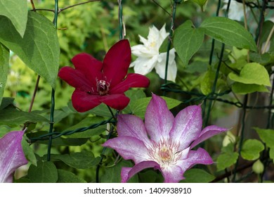 one bright red clematis and one crimson clematis close up against green foliage and white clematis, bokeh