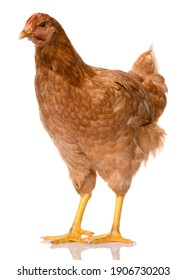 one brown chicken isolated on white background, studio shoot