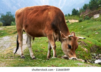 One Brown cow on green grass pasture in mountains