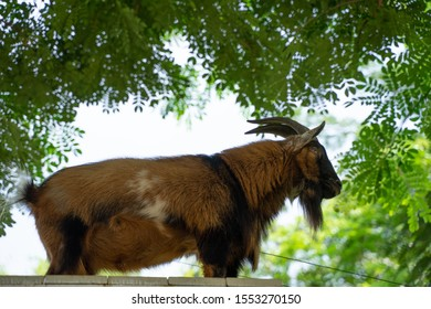 One brown goat in the garden ,Brown agouti pygmy goat standing side ways with head turned, Close up of goat stand known as the Alpine Ibex (Capra Ibex). horned goat