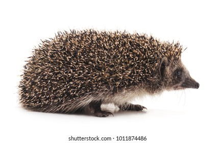 One brown hedgehog isolated on a white background.