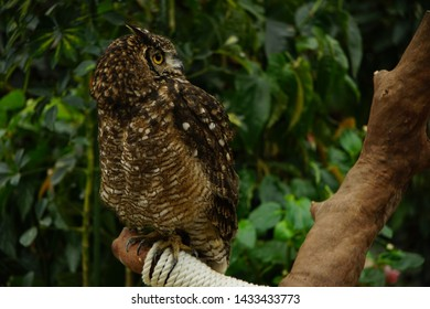 One Brown Honed Owl front