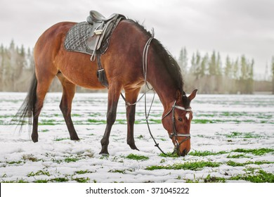 one Brown horse with a saddle in the box eats grass under the snow