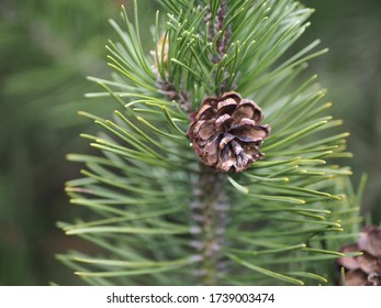 One brown pine cone on a branch