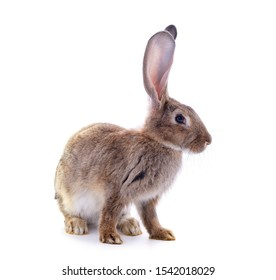 One brown rabbit isolated on a white background.