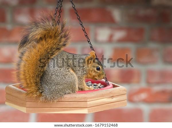 one-brown-squirrel-on-bird-600w-16791524