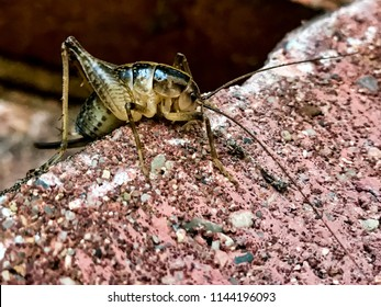 One bug by many names - camel cricket, land shrimp, cave cricket, or spricket?