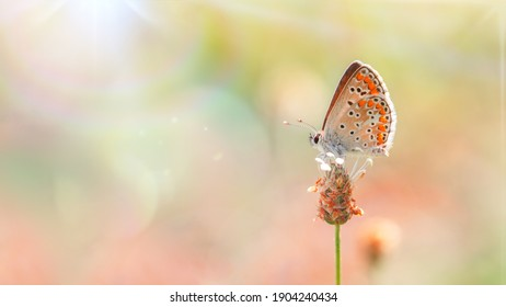 One butterfly (Brown Argus) roosting on a inflorescence ready to fly, close-up side view with a blurred background. Lens flares on blurred fairytale wild meadow background. Selective soft focus.