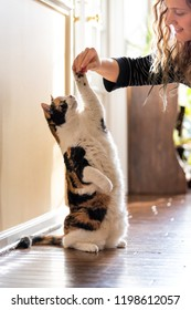 One calico cat standing up on hind legs, begging, picking, asking food, meat in living room, doing trick with front paw, claws with woman face, hand holding treat