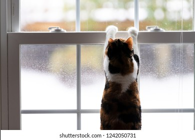 One calico domestic cat leaning on window with front paws, birdwatching, bird watching, hunting from inside of home, house room, looking through, out for birds