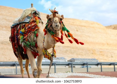 One camel in bright colored traditional decorations on the road.