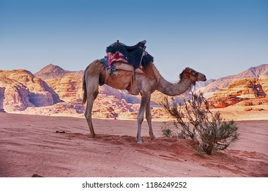 One camel waits near an isolated bush amidst the sand and mountains of the Wadi Rum desert in Southern Jordan.