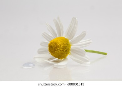 One camomile flower on white background, copyspace
