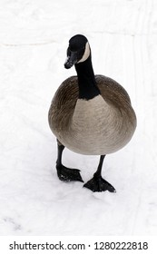 One Canada goose or branta canadensis on snow.
