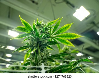 One Cannabis Indica Plant Budding For Harvest in Legalized Marijuana Grow Operation