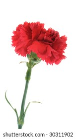 One carnation of red color on a white background.