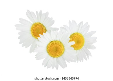 one chamomile or daisies isolated on white background