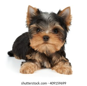 One charming puppy of the Yorkshire Terrier on white
