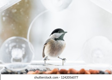 One chickadee bird closeup sitting perched on plastic glass window feeder perch, sunny day, looking, curious during heavy snow, snowing, snowstorm on sunny day, Virginia