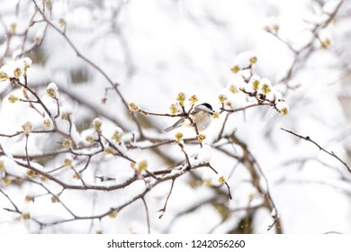 One chickadee bird perched on sakura, cherry tree branch covered in snow with buds during heavy snowing, snowstorm, storm in Virginia