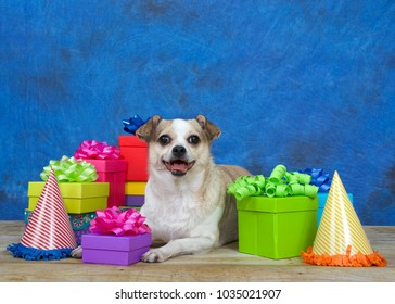 One chubby Chihuahua on a wood floor surrounded by colorful birthday presents, party hats, mouth open as if smiling at viewer. Textured blue and black background.