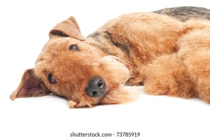 One closeup lying Black brown Airedale Terrier dog isolated on white