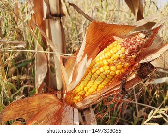 One Cob of Ripe Corn before Harvest on the Field in the Summer, Organic and Pesticide-free Ready to Harvest Fruits, Countryside Background
