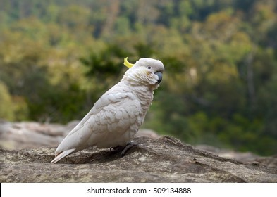 One Cockatoo sit on a cliff rock in Jamison Valley Rain forest near  Katoomba at the Blue Mountains of New South Wale, Australia.