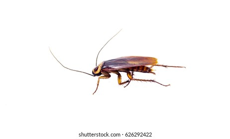 One cockroach isolated on white