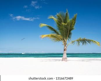 One coconut palm tree on tropical sandy beach. Caribbean destinations