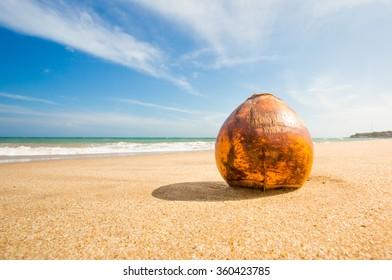One cocunut lying on the beach in Mirissa, Sri Lanka