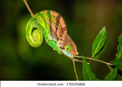 One Colorful chameleon on a branch of a tree