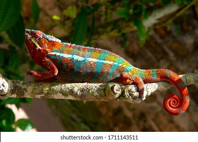 One Colorful chameleon on a branch in a national park on the island of Madagascar