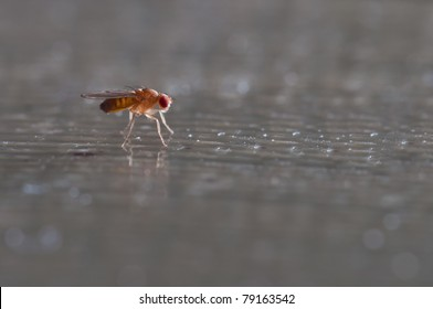 One common fruit fly sitting on a table