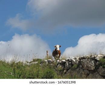 one cow in alpine pasture
