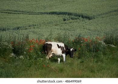One cow in green field grass among red poppies.