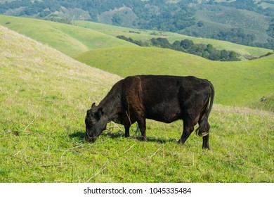 One cow in green pasture land during day time, with nobody