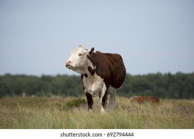 One cow on green pasture farmland, in rural Laesoe island, Denmark.