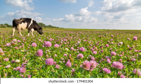 one cow on pink clover flowers meadow