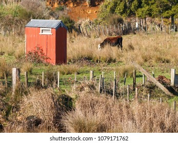 One cow and small red shed in New Zealand rural landscape in Waikato region.