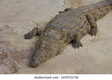 One crocodile basks in the sun. Crocodile farm. Cultivation of crocodiles. Crocodile sharp teeth. Close-up.