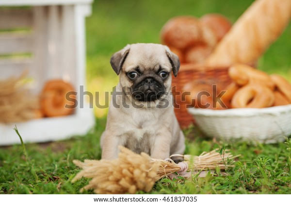 One cute beautiful pug dog puppy with light colored body and black muzzle sitting on green grass outdoors on summer sunny day with wooden decorations on the background with bread