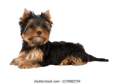 One cute puppy of the Yorkshire Terrier lies on isolated white background