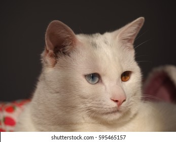 One cute white cat with the different color eyes