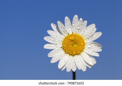 one daisy against the blue sky, covered completely with drops of water from the falling rain, close-up in the summer