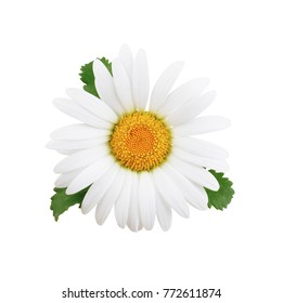 One daisy flower with leaves isolated on white background as package design element.