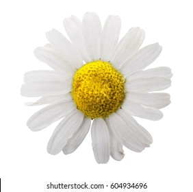 One daisy flower on a white background
