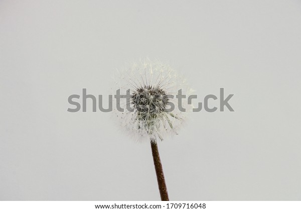 one dandelion on a blurry background close-up