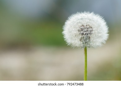 One dandelion on a natural green background